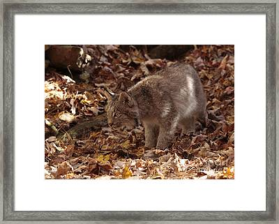 Baby Lynx On The Look Out Framed Print by Inspired Nature Photography Fine Art Photography