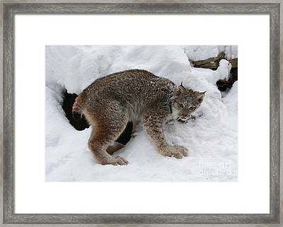Baby Lynx Staying Close To Its Winter Den Framed Print by Inspired Nature Photography Fine Art Photography