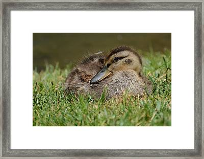 Baby Mallard Framed Print by Todd Hostetter