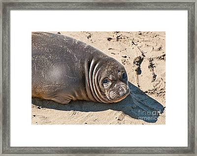 Baby Northern Elephant Seals Mirounga Angustirostris At The Piedras Blancas Beach Framed Print by Jamie Pham