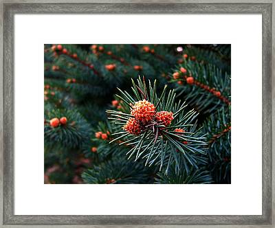 Baby Pinecones Framed Print by Julie Dant