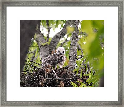 Baby Red Shouldered Hawk Framed Print by Jai Johnson