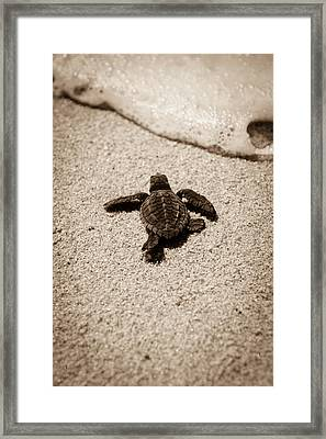 Baby Sea Turtle Framed Print by Sebastian Musial