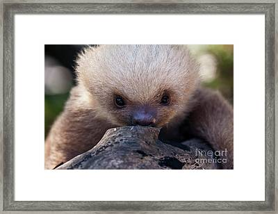 Baby Sloth 2 Framed Print by Heiko Koehrer-Wagner