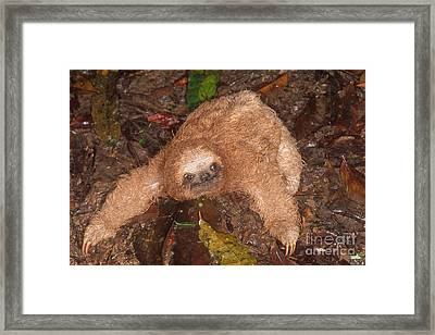 Baby Three-toed Sloth Framed Print by Gregory G. Dimijian, M.D.