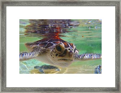 Baby Turtle Framed Print by Carey Chen