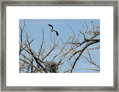 Back To The Nest Framed Print by Bob Hislop