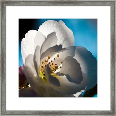Backlit Cherry Blossom Framed Print by David Patterson