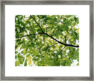Backlit Green Tree Branch Framed Print by Panoramic Images