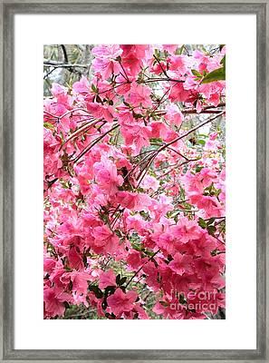 Backlit Rainy Azaleas Framed Print by Carol Groenen