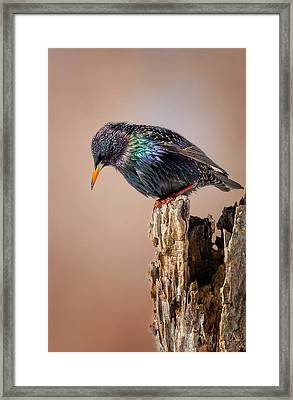 Backyard Birds European Starling Framed Print by Bill Wakeley
