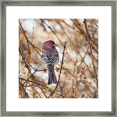 Backyard Birds Male House Finch Square Framed Print by Bill Wakeley