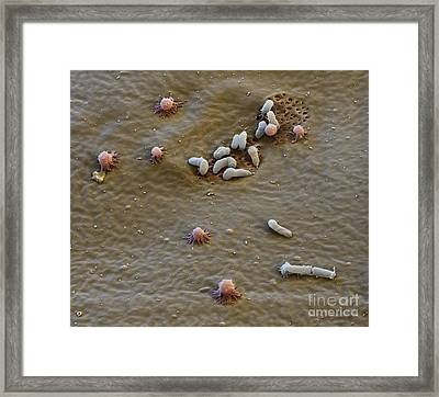 Bacteria On Water Bear Skin Framed Print by Eye of Science and Science Source