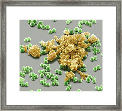 Bacteria Framed Print by Steve Gschmeissner