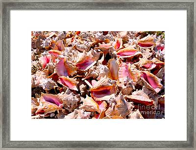 Bahama Conch Framed Print by Carey Chen