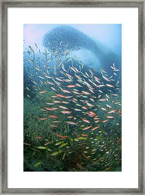 Baitfish Swirl In Background While Framed Print by Jaynes Gallery