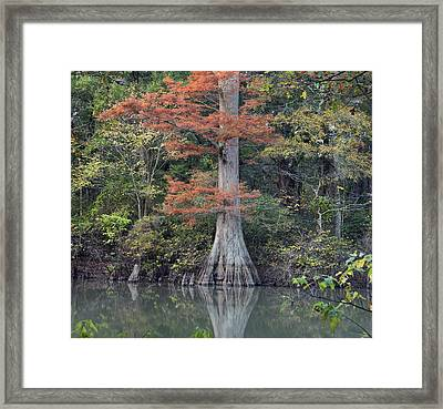 Bald Cypress In White River Nrw Arkansas Framed Print by Tim Fitzharris
