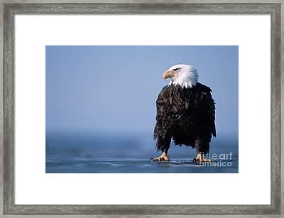 Bald Eagle At Low Tide Alaska Framed Print by