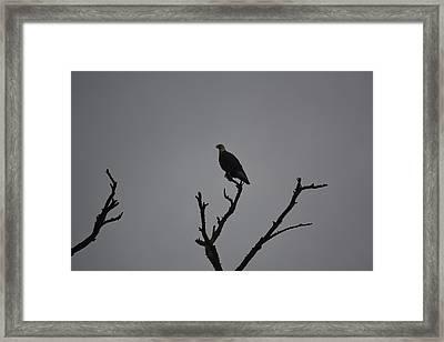 Bald Eagle  Framed Print by Nicholas Outar