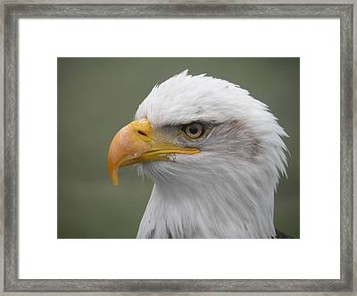 Bald Eagle Framed Print by Brian Chase