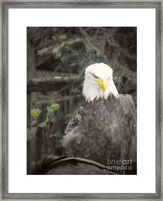 Bald Eagle Framed Print by Dawn Gari