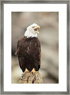 Bald Eagle Framed Print by Dr P. Marazzi