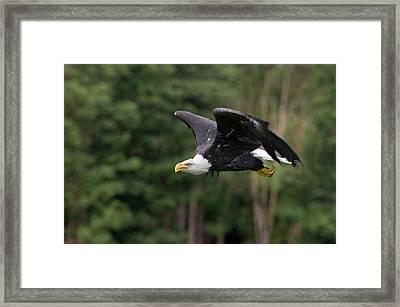 Bald Eagle In Flight Framed Print by Linda Wright
