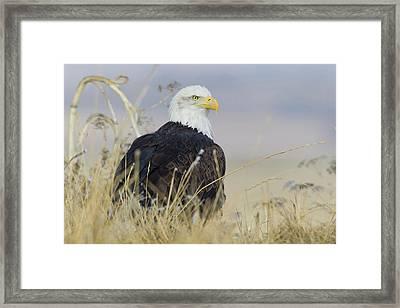 Bald Eagle On The Ground Framed Print by Ken Archer