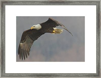 Bald Eagle On The Wing Framed Print by Stanley Klein