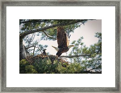 Bald Eagle With Eaglet Framed Print by Everet Regal