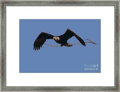 Bald Eagle With Nesting Supplies Framed Print by Meg Rousher