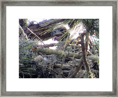 Bald Eagles Chick Framed Print by Zina Stromberg