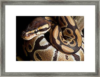 Ball Python Python Regius Framed Print by David Kenny