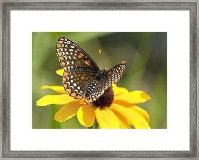Baltimore Checkerspot And Black-eyed Susan Framed Print by Kathryn Whitaker