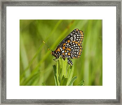 Baltimore Checkerspot Butterfly Framed Print by Eric Mace