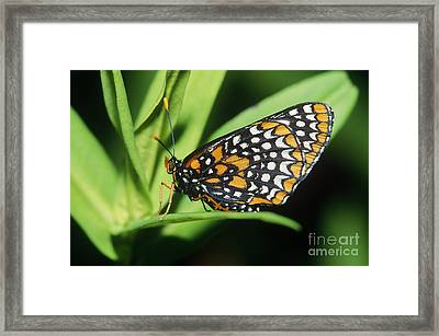 Baltimore Checkerspot Butterfly Framed Print by Larry West