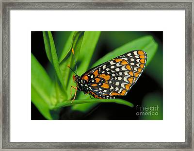 Baltimore Checkerspot Framed Print by Larry West