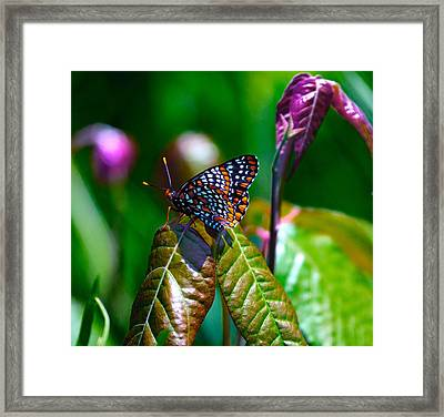 Baltimore Checkerspot On Poison Ivy Framed Print by Constantine Gregory