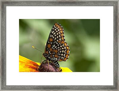 Baltimore Checkerspot On Rudbeckia Framed Print by Kathryn Whitaker