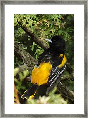 Baltimore Oriole Heres Looking Atcha Framed Print by Brenda Brown