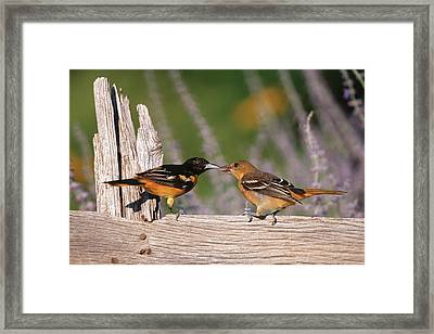 Baltimore Orioles (icterus Galbula Framed Print by Richard and Susan Day