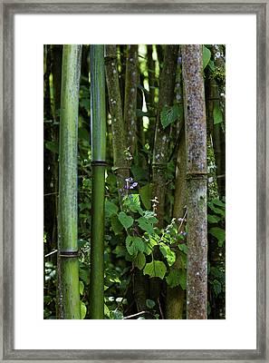 Bamboo Forest, Ruwenzori, Uganda Framed Print by Martin Zwick