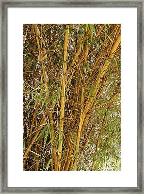 Bamboo Plant Framed Print by Science Photo Library