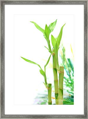 Bamboo Stems And Leaves Framed Print by Olivier Le Queinec