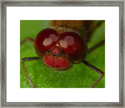 Band-winged Meadowhawk Framed Print by Tony Beck
