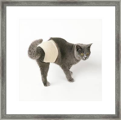 Bandaged Cat Framed Print by John Daniels