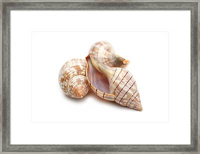 Banded Tulip Seashells Macro Framed Print by Jennie Marie Schell
