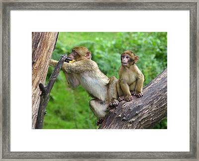 Barbary Macaques Framed Print by Nigel Downer