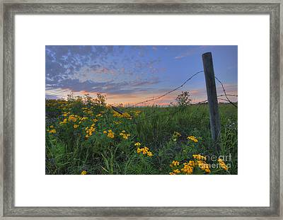 Barbed Wire And Common Tansy Framed Print by Dan Jurak