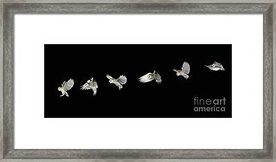 Barn Owl In Flight Framed Print by Stephen Dalton